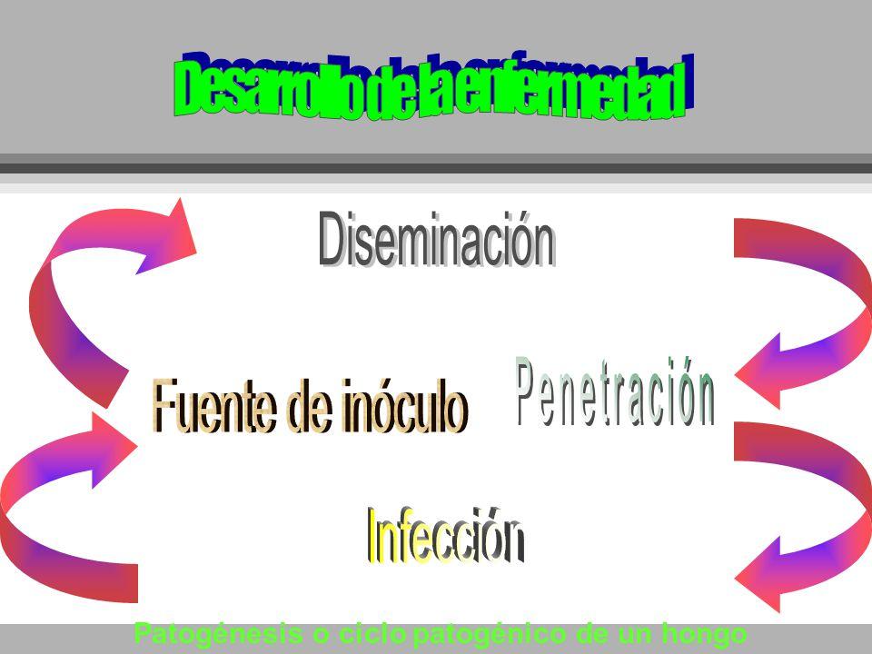 Patogénesis o ciclo patogénico de un hongo
