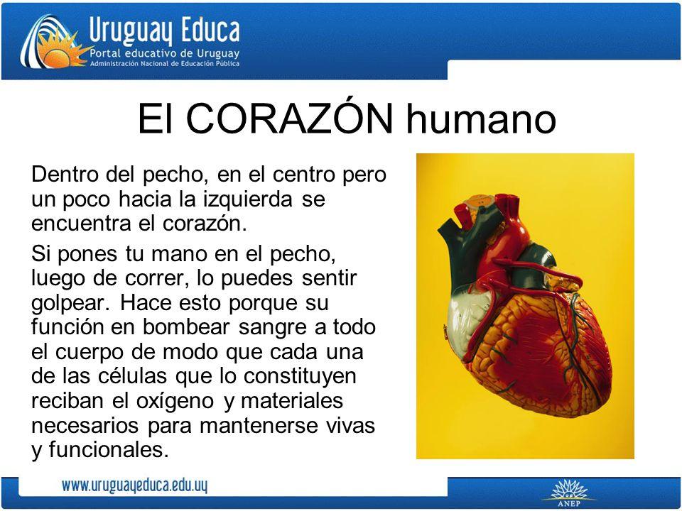El CORAZÓN humano Dentro del pecho, en el centro pero un poco hacia la izquierda se encuentra el corazón. Si pones tu mano en el pecho, luego de corre