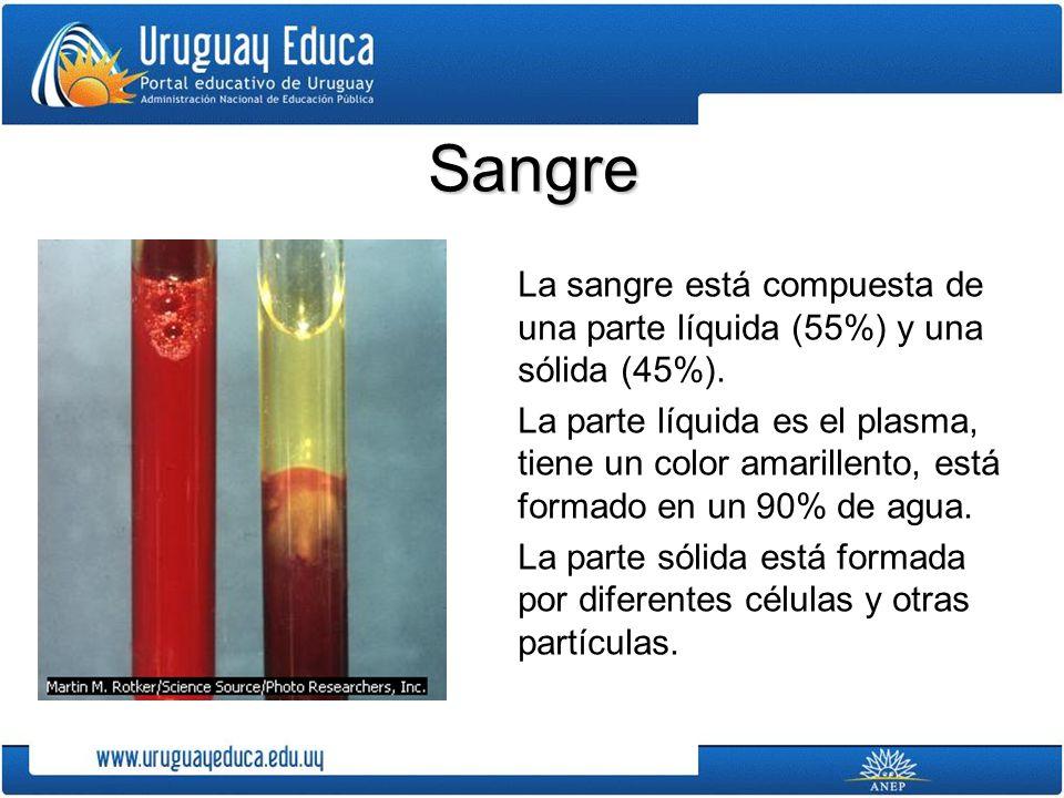 La sangre está compuesta de una parte líquida (55%) y una sólida (45%). La parte líquida es el plasma, tiene un color amarillento, está formado en un