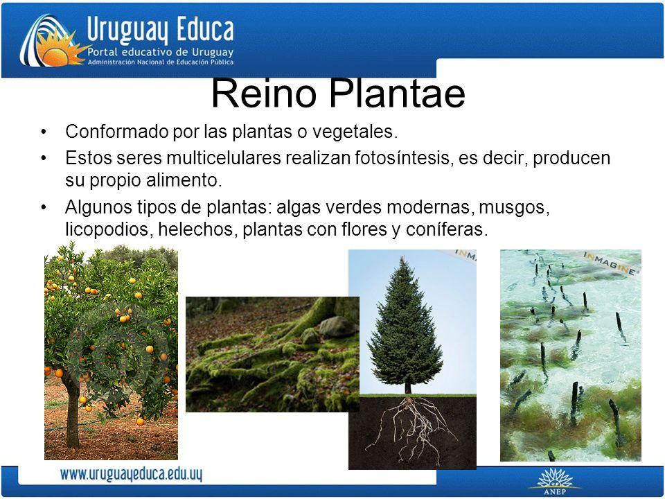 Reino Plantae Conformado por las plantas o vegetales. Estos seres multicelulares realizan fotosíntesis, es decir, producen su propio alimento. Algunos