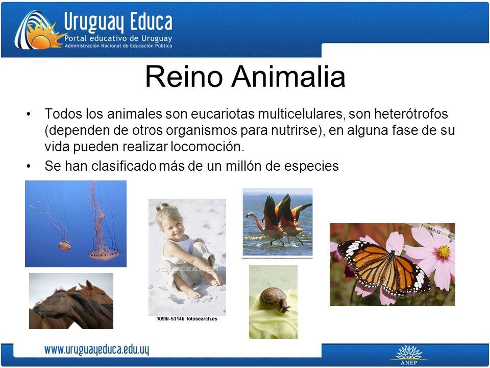 Reino Animalia Todos los animales son eucariotas multicelulares, son heterótrofos (dependen de otros organismos para nutrirse), en alguna fase de su v