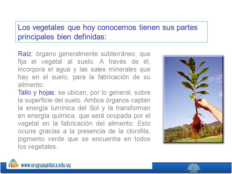 Los vegetales que hoy conocemos tienen sus partes principales bien definidas: Raíz: órgano generalmente subterráneo, que fija el vegetal al suelo. A t