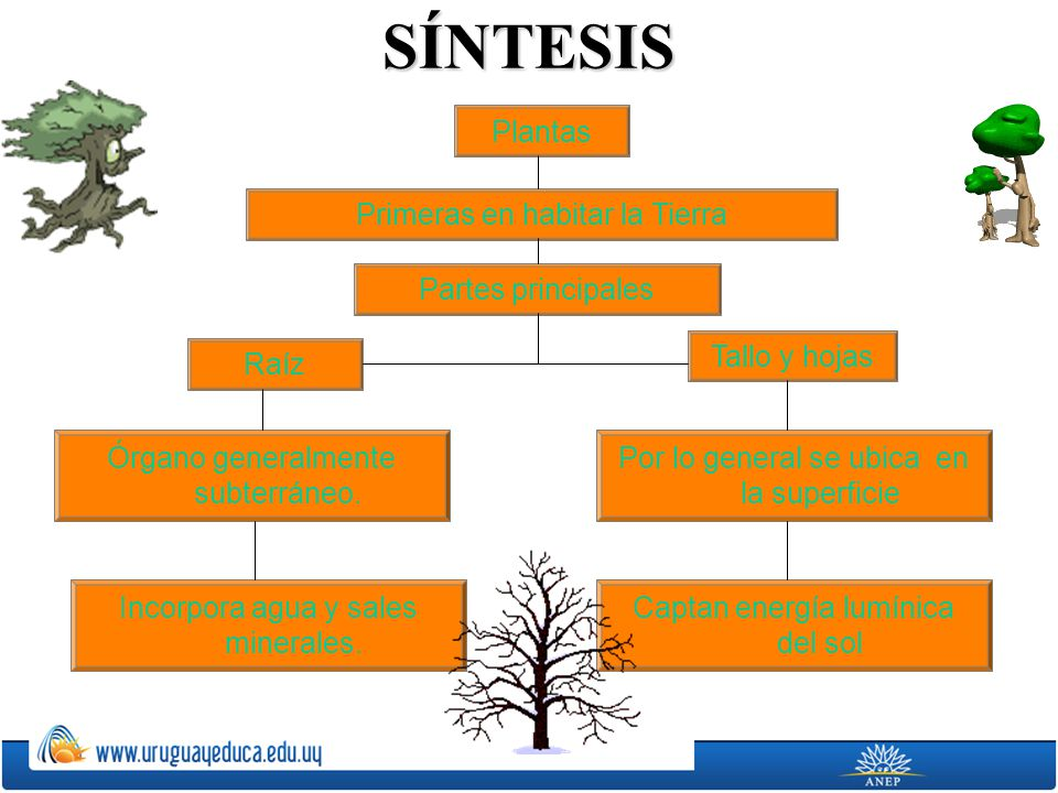 SÍNTESIS Plantas Primeras en habitar la Tierra Partes principales Raíz Tallo y hojas Órgano generalmente subterráneo. Incorpora agua y sales minerales