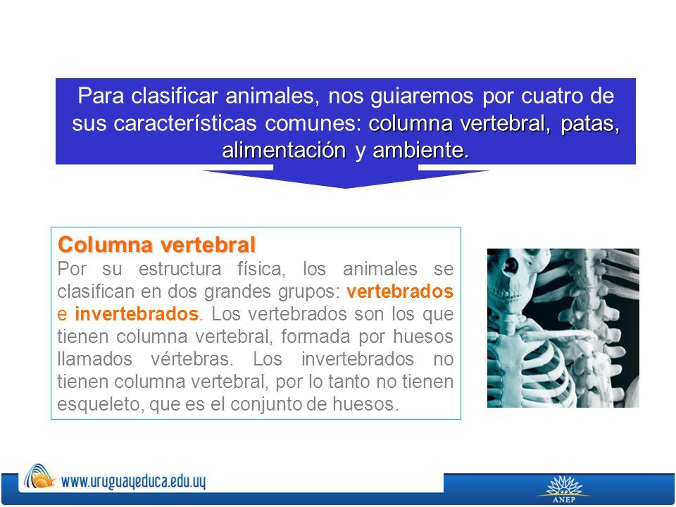Columna vertebral Por su estructura física, los animales se clasifican en dos grandes grupos: vertebrados e invertebrados. Los vertebrados son los que