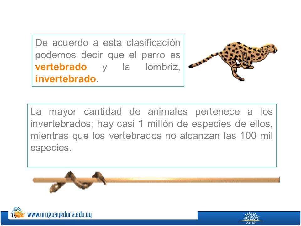 De acuerdo a esta clasificación podemos decir que el perro es vertebrado y la lombriz, invertebrado. La mayor cantidad de animales pertenece a los inv