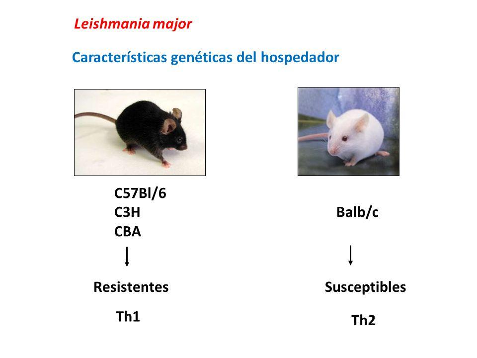 Leishmania major C57Bl/6 C3H Balb/c CBA Resistentes Susceptibles Características genéticas del hospedador Th1 Th2