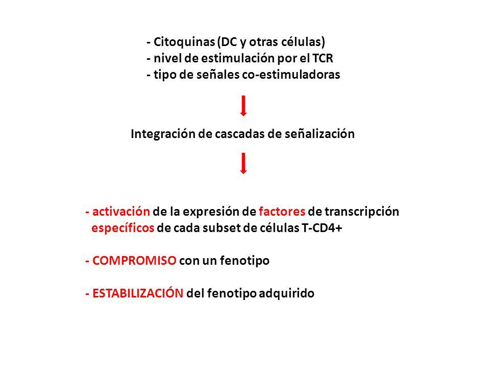 Integración de cascadas de señalización - activación de la expresión de factores de transcripción específicos de cada subset de células T-CD4+ - COMPROMISO con un fenotipo - ESTABILIZACIÓN del fenotipo adquirido - Citoquinas (DC y otras células) - nivel de estimulación por el TCR - tipo de señales co-estimuladoras