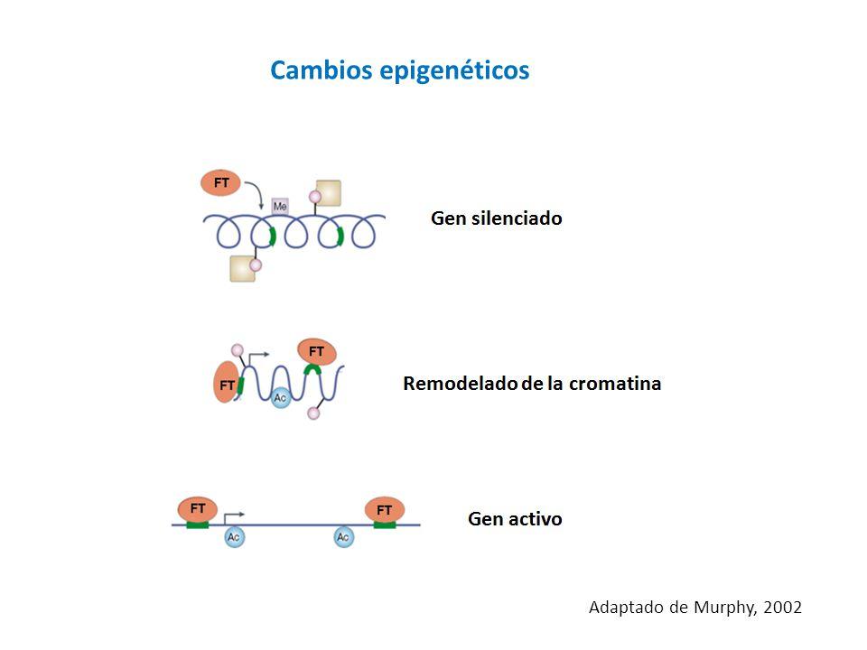 Cambios epigenéticos Adaptado de Murphy, 2002