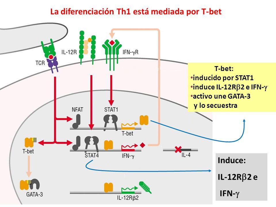 La diferenciación Th1 está mediada por T-bet T-bet: inducido por STAT1 induce IL-12R 2 e IFN- activo une GATA-3 y lo secuestra Induce: IL-12R 2 e IFN-