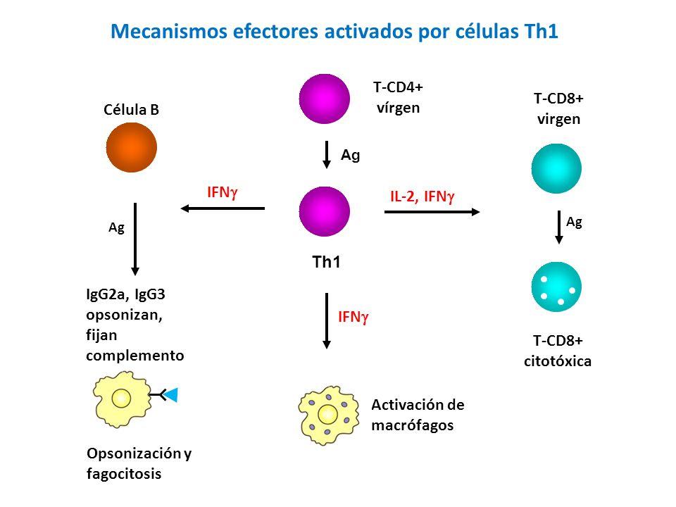 Th1 T-CD4+ vírgen Ag IFN Célula B Ag IgG2a, IgG3 opsonizan, fijan complemento Mecanismos efectores activados por células Th1 Opsonización y fagocitosis IFN Activación de macrófagos IL-2, IFN T-CD8+ virgen Ag T-CD8+ citotóxica