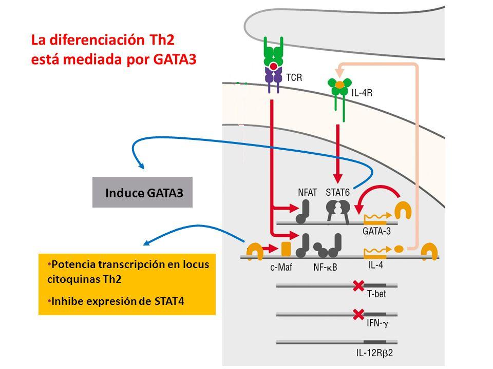 La diferenciación Th2 está mediada por GATA3 Induce GATA3 Potencia transcripción en locus citoquinas Th2 Inhibe expresión de STAT4