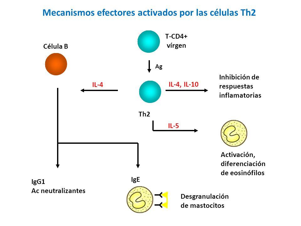 Mecanismos efectores activados por las células Th2 IL-4, IL-10 Inhibición de respuestas inflamatorias IL-5 Activación, diferenciación de eosinófilos Célula B IL-4 IgE IgG1 Ac neutralizantes Desgranulación de mastocitos Th2 Ag T-CD4+ vírgen