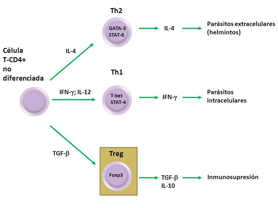Célula T-CD4+ no diferenciada IL-4 IFN- ; IL-12 TGF- Th2 GATA-3 STAT-6 IL-4 IFN- TGF- IL-10 Parásitos extracelulares (helmintos) Th1 T-bet STAT-4 Parásitos intracelulares Foxp3 Inmunosupresión Treg