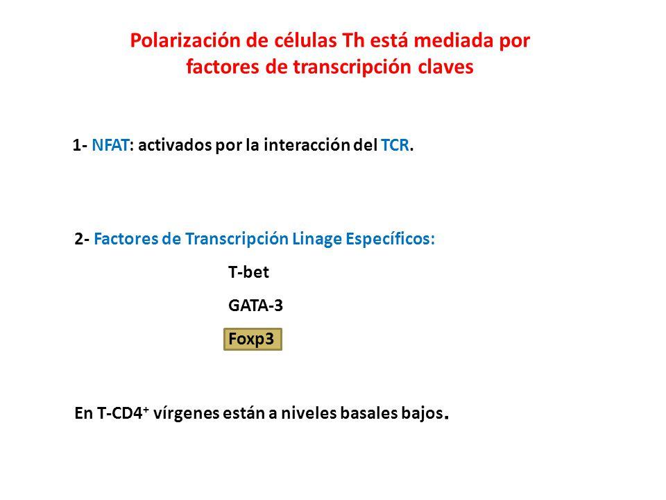 Polarización de células Th está mediada por factores de transcripción claves 1- NFAT: activados por la interacción del TCR. 2- Factores de Transcripci