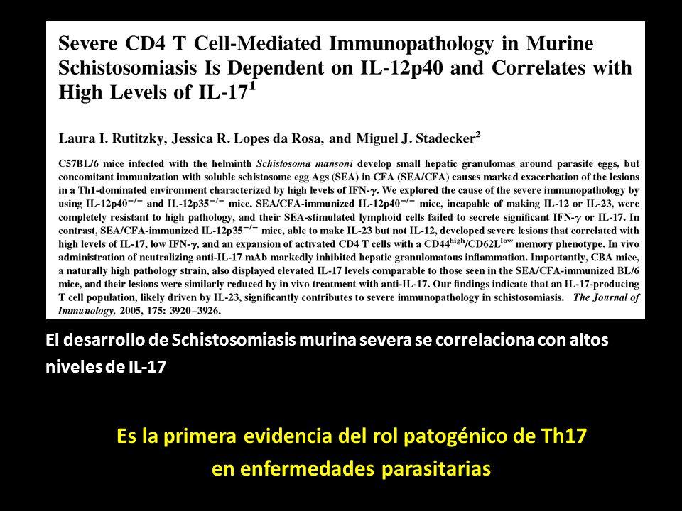 El desarrollo de Schistosomiasis murina severa se correlaciona con altos niveles de IL-17 Es la primera evidencia del rol patogénico de Th17 en enferm