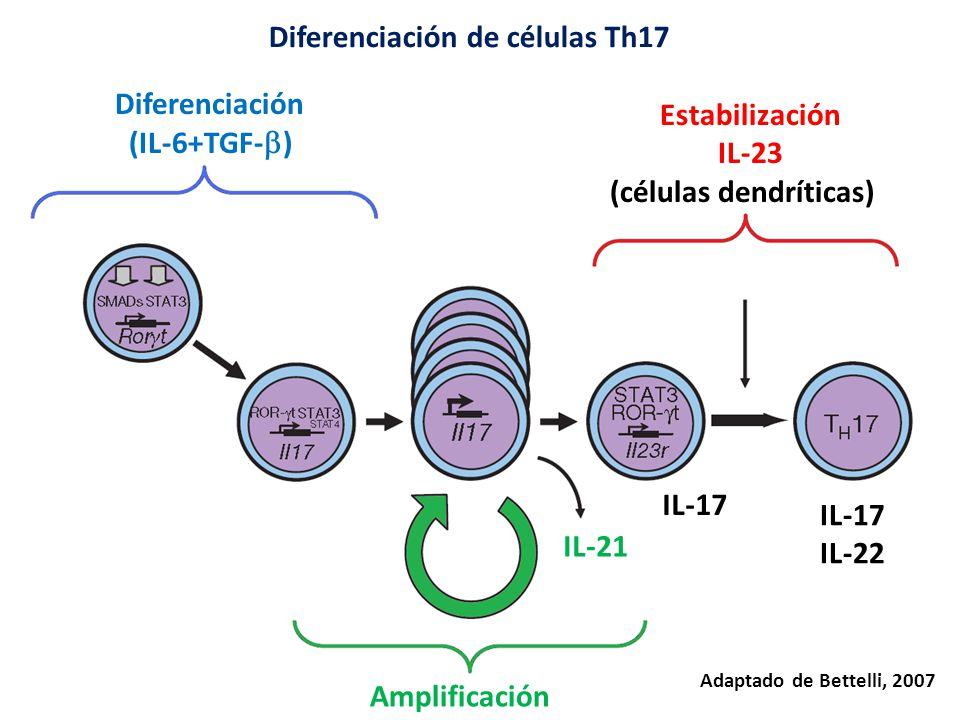 Diferenciación (IL-6+TGF- ) Amplificación IL-21 Estabilización IL-23 (células dendríticas) IL-17 IL-22 IL-17 Diferenciación de células Th17 Adaptado de Bettelli, 2007