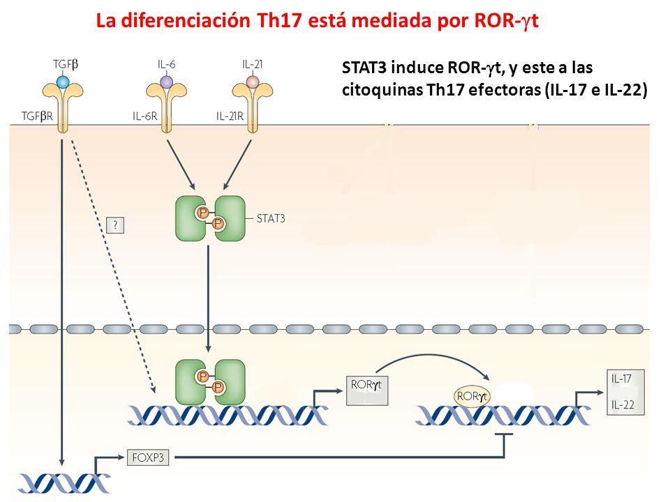 La diferenciación Th17 está mediada por ROR- t STAT3 induce ROR- t, y este a las citoquinas Th17 efectoras (IL-17 e IL-22)