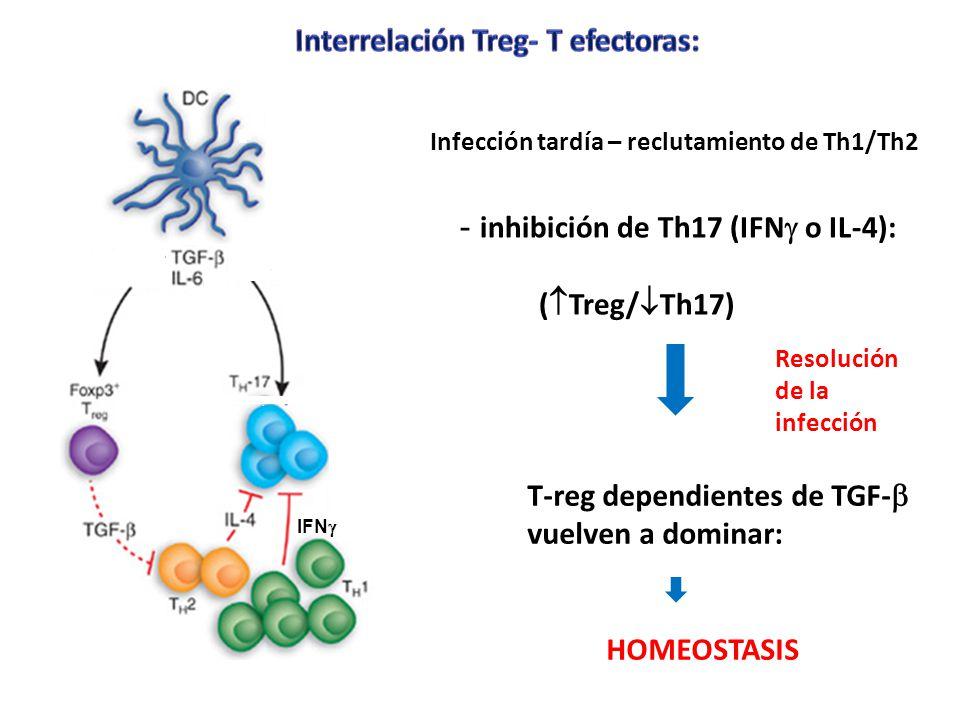 Infección tardía – reclutamiento de Th1/Th2 - inhibición de Th17 (IFN o IL-4): ( Treg/ Th17) T-reg dependientes de TGF- vuelven a dominar: HOMEOSTASIS Resolución de la infección IFN