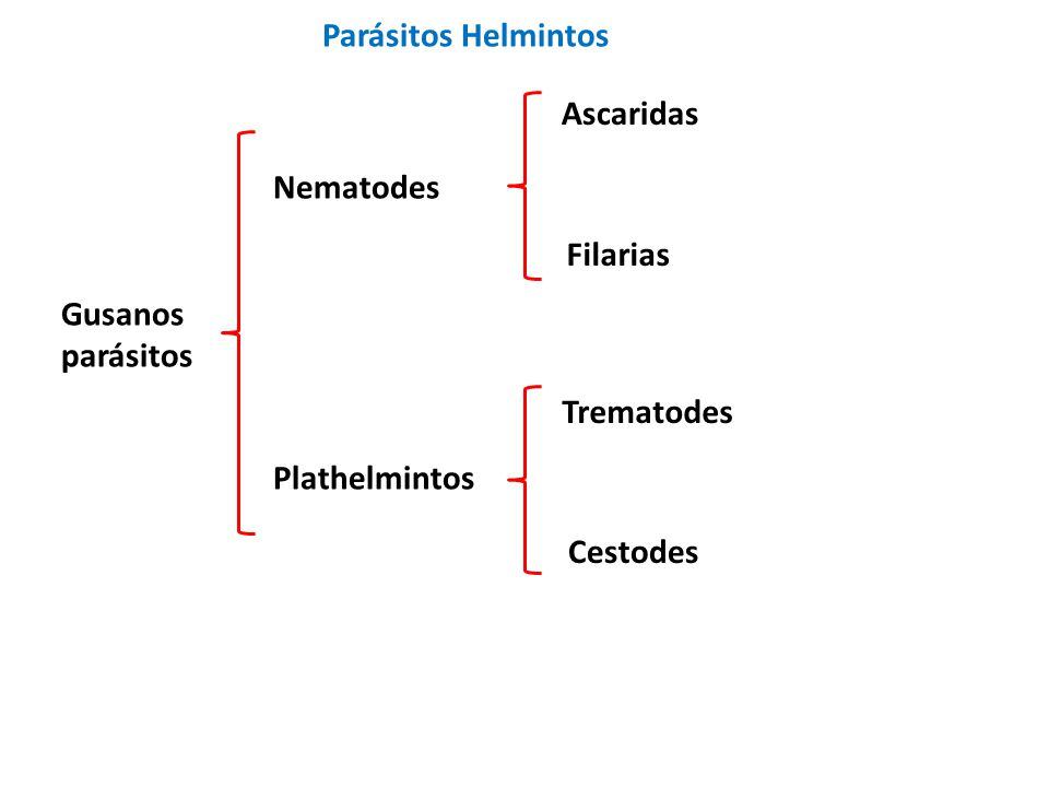 Gusanos parásitos Nematodes Plathelmintos Trematodes Cestodes Ascaridas Filarias Parásitos Helmintos
