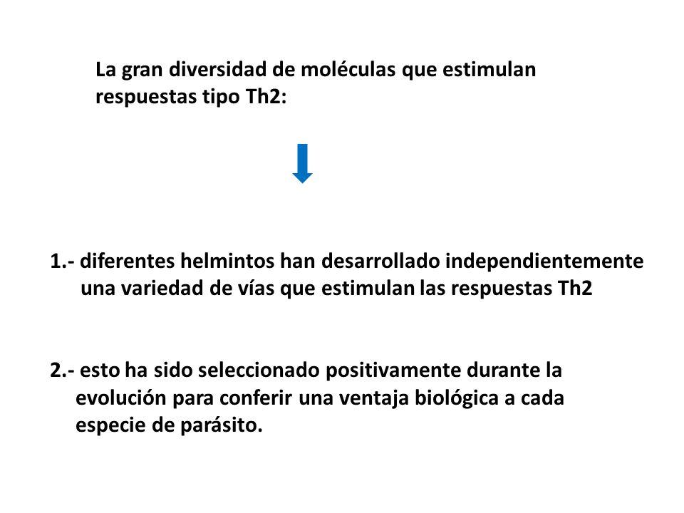 La gran diversidad de moléculas que estimulan respuestas tipo Th2: 1.- diferentes helmintos han desarrollado independientemente una variedad de vías que estimulan las respuestas Th2 2.- esto ha sido seleccionado positivamente durante la evolución para conferir una ventaja biológica a cada especie de parásito.