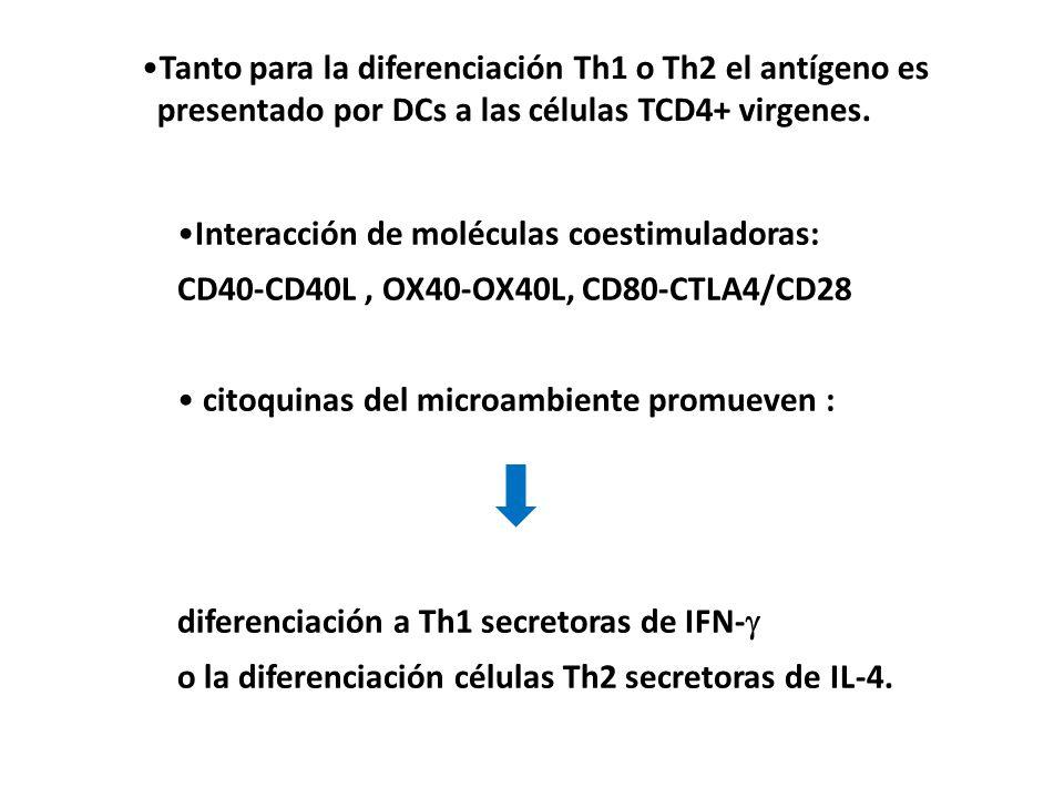 Tanto para la diferenciación Th1 o Th2 el antígeno es presentado por DCs a las células TCD4+ virgenes. Interacción de moléculas coestimuladoras: CD40-