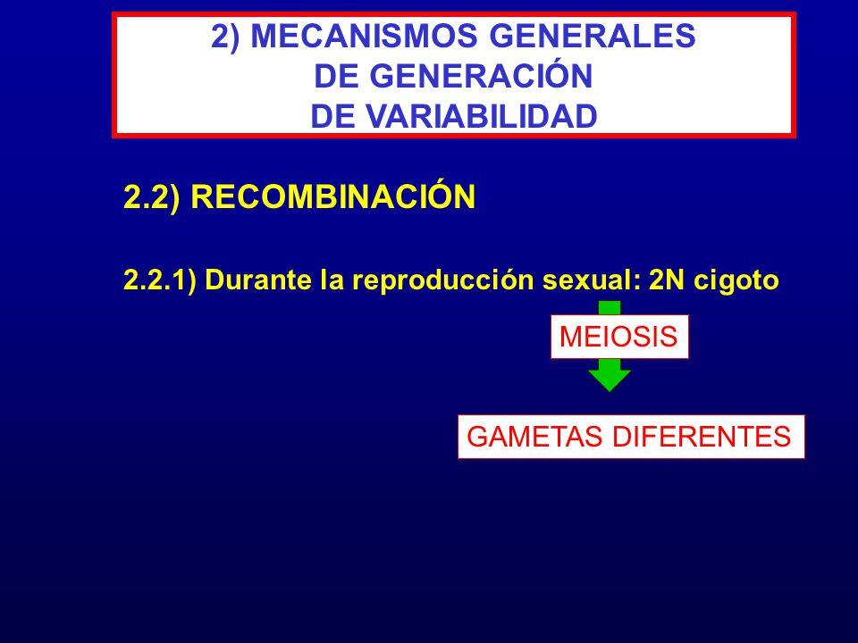 2.2.1) Durante la reproducción sexual: 2N cigoto 2.2) RECOMBINACIÓN 2) MECANISMOS GENERALES DE GENERACIÓN DE VARIABILIDAD MEIOSIS GAMETAS DIFERENTES