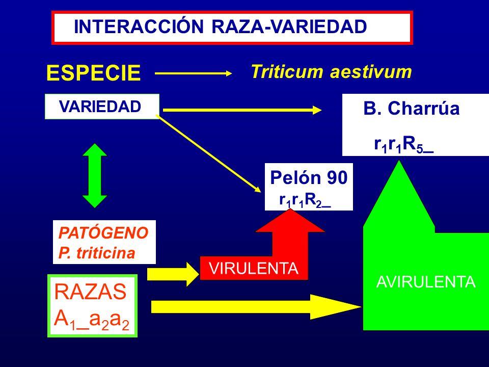 ESPECIE VARIEDAD B. Charrúa r 1 r 1 R 5 _ Triticum aestivum RAZAS A 1 _a 2 a 2 Pelón 90 r 1 r 1 R 2 _ INTERACCIÓN RAZA-VARIEDAD VIRULENTA AVIRULENTA P