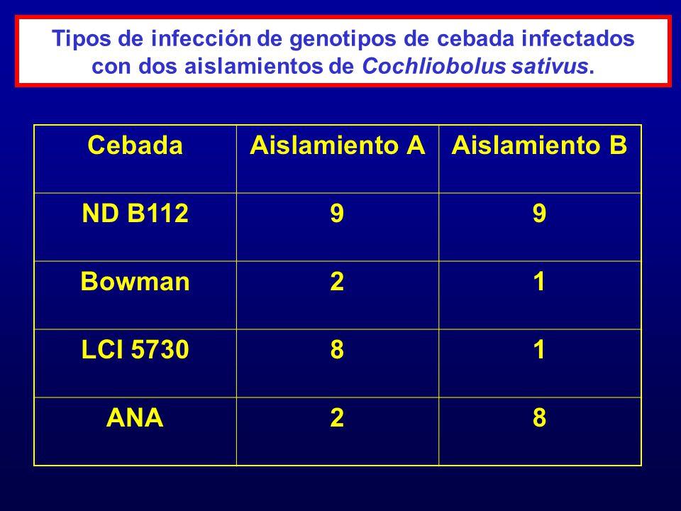 Tipos de infección de genotipos de cebada infectados con dos aislamientos de Cochliobolus sativus CebadaAislamiento AAislamiento B ND B1129 virulento Bowman2 avirulento1 avirulento LCI 57308 virulento1 avirulento ANA2 avirulento8 virulento