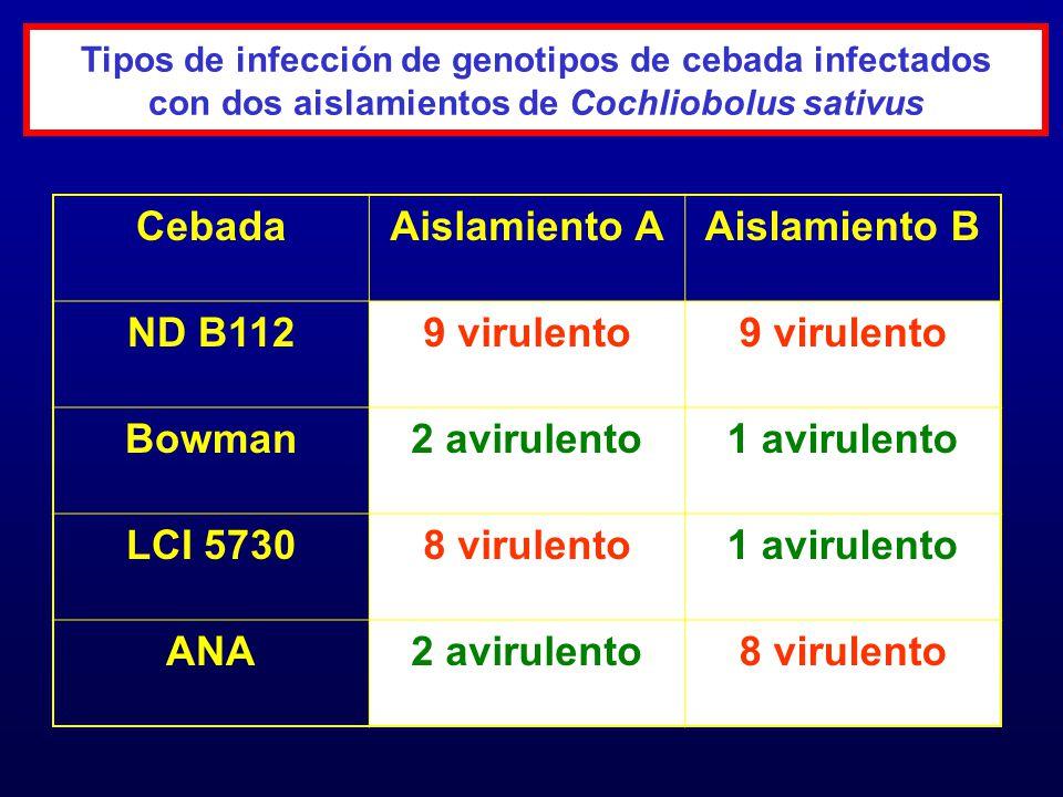 Tipos de infección de genotipos de cebada infectados con dos aislamientos de Cochliobolus sativus CebadaAislamiento AAislamiento B ND B1129 virulento