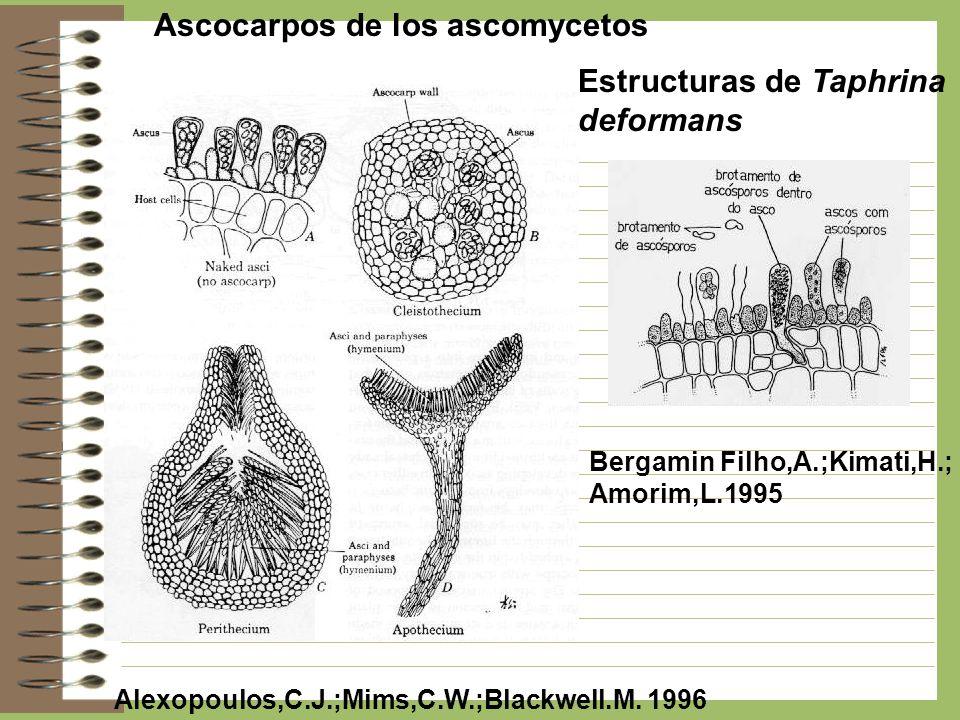 Ascocarpos de los ascomycetos Alexopoulos,C.J.;Mims,C.W.;Blackwell.M. 1996 Bergamin Filho,A.;Kimati,H.; Amorim,L.1995 Estructuras de Taphrina deforman