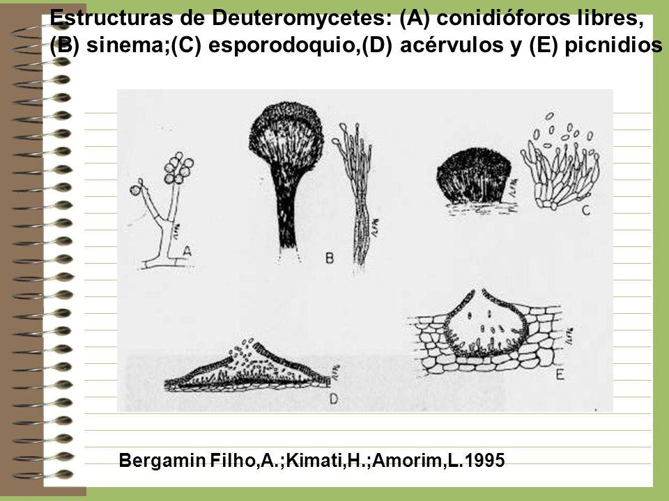 Estructuras de Deuteromycetes: (A) conidióforos libres, (B) sinema;(C) esporodoquio,(D) acérvulos y (E) picnidios Bergamin Filho,A.;Kimati,H.;Amorim,L