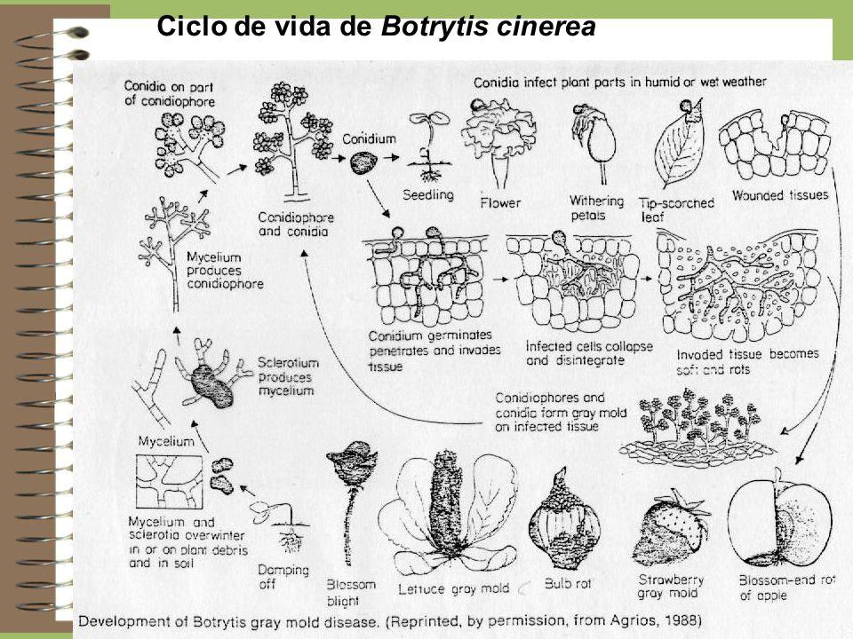 Ciclo de vida de Botrytis cinerea