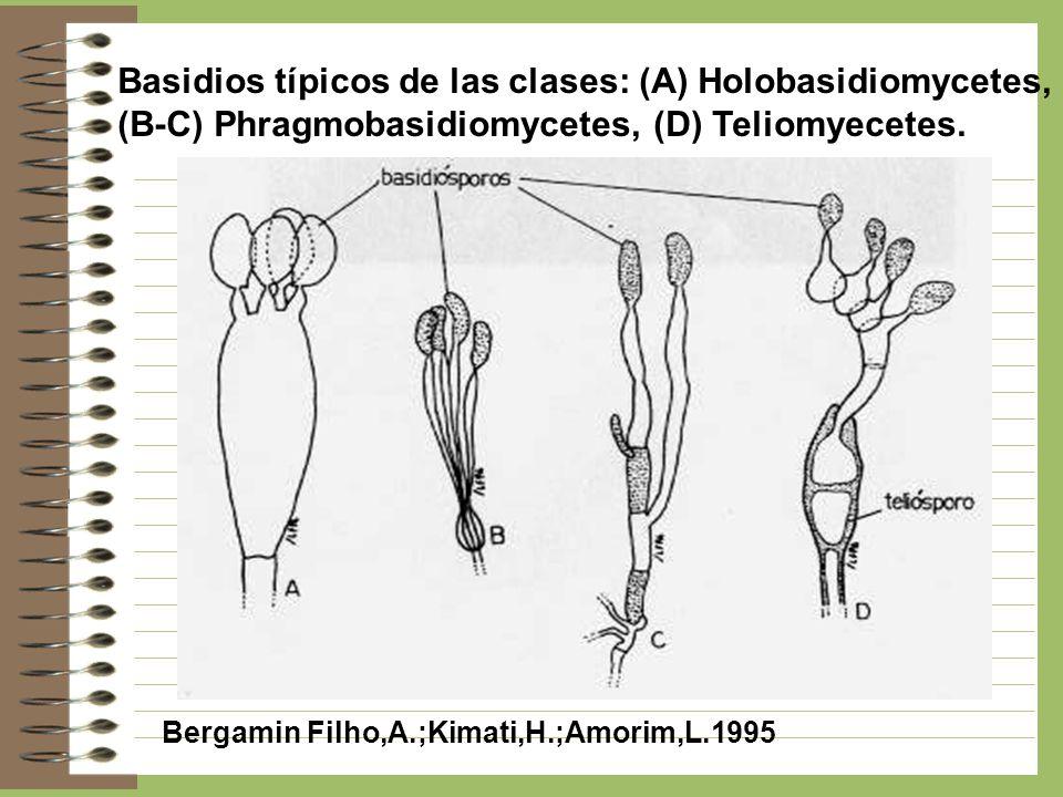Basidios típicos de las clases: (A) Holobasidiomycetes, (B-C) Phragmobasidiomycetes, (D) Teliomyecetes. Bergamin Filho,A.;Kimati,H.;Amorim,L.1995