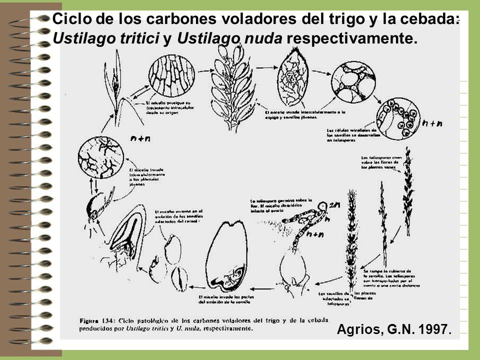 Ciclo de los carbones voladores del trigo y la cebada: Ustilago tritici y Ustilago nuda respectivamente. Agrios, G.N. 1997.