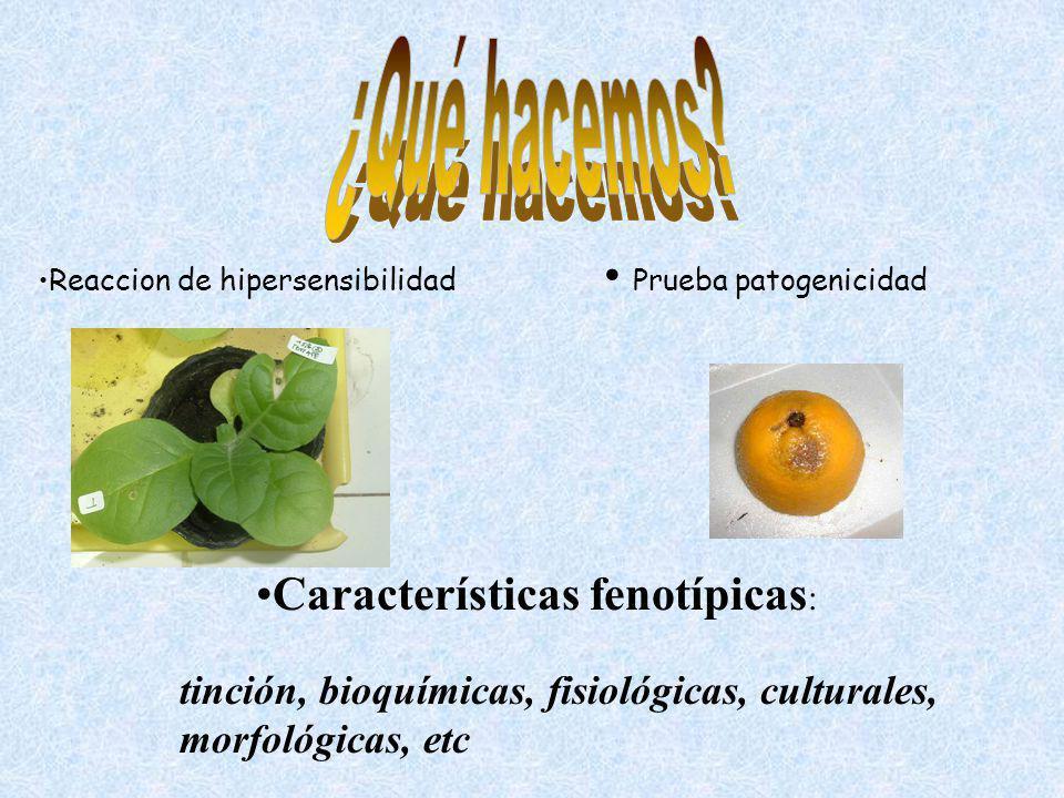 Características fenotípicas : tinción, bioquímicas, fisiológicas, culturales, morfológicas, etc Prueba patogenicidad Reaccion de hipersensibilidad
