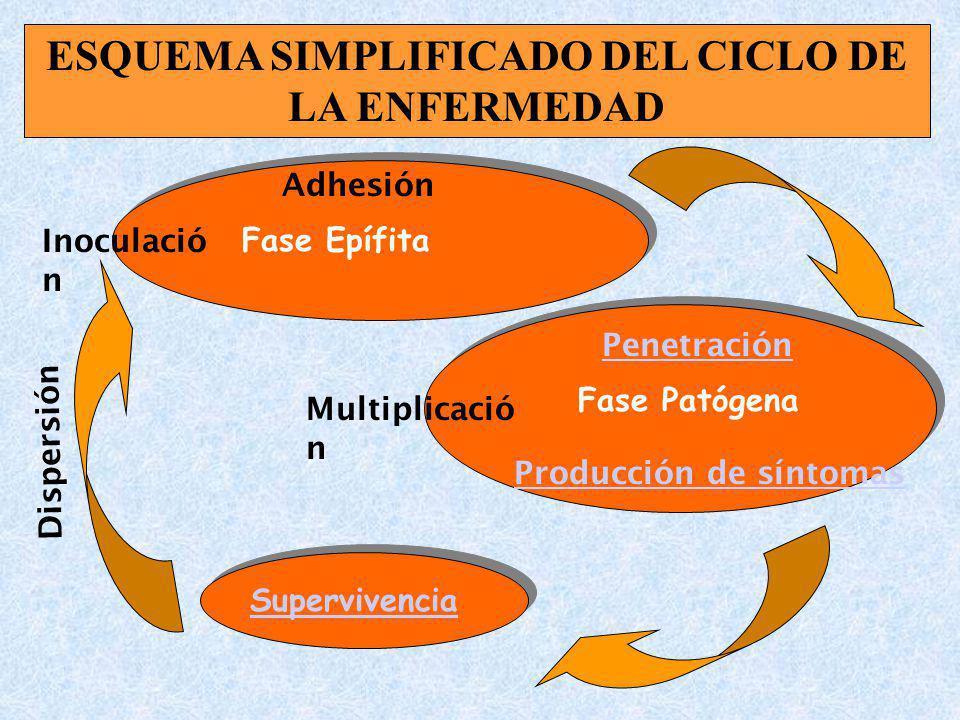 Fase Epífita Fase Patógena Inoculació n Adhesión Penetración Multiplicació n Supervivencia Dispersión ESQUEMA SIMPLIFICADO DEL CICLO DE LA ENFERMEDAD Producción de síntomas