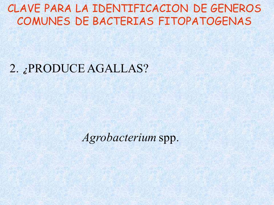 CLAVE PARA LA IDENTIFICACION DE GENEROS COMUNES DE BACTERIAS FITOPATOGENAS 2. ¿ PRODUCE AGALLAS? Agrobacterium spp.