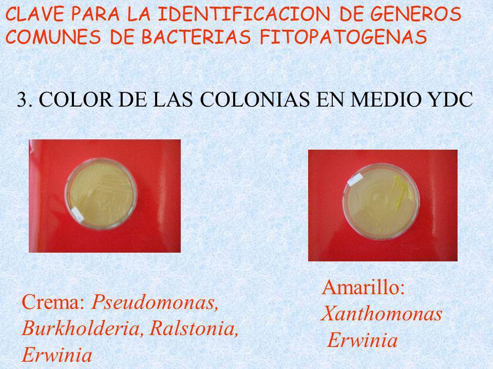 CLAVE PARA LA IDENTIFICACION DE GENEROS COMUNES DE BACTERIAS FITOPATOGENAS 3. COLOR DE LAS COLONIAS EN MEDIO YDC Crema: Pseudomonas, Burkholderia, Ral