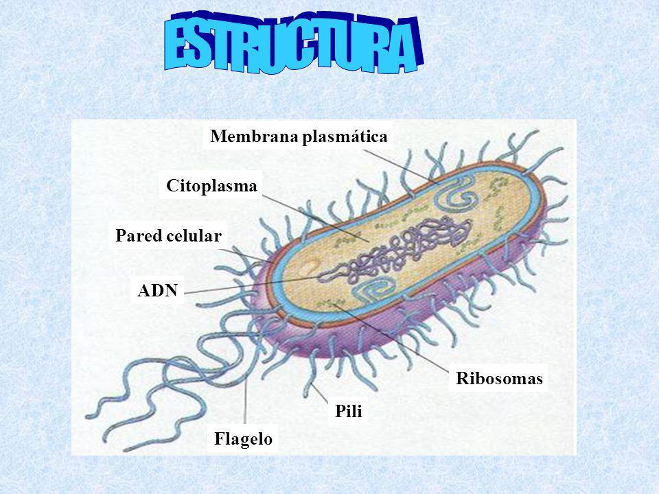 Flagelo Pili Ribosomas Pared celular Citoplasma Membrana plasmática ADN