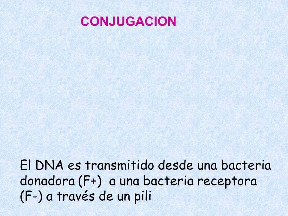 CONJUGACION El DNA es transmitido desde una bacteria donadora (F+) a una bacteria receptora (F-) a través de un pili