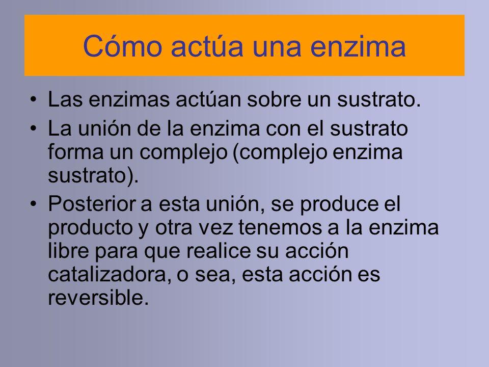 Cómo actúa una enzima Las enzimas actúan sobre un sustrato. La unión de la enzima con el sustrato forma un complejo (complejo enzima sustrato). Poster