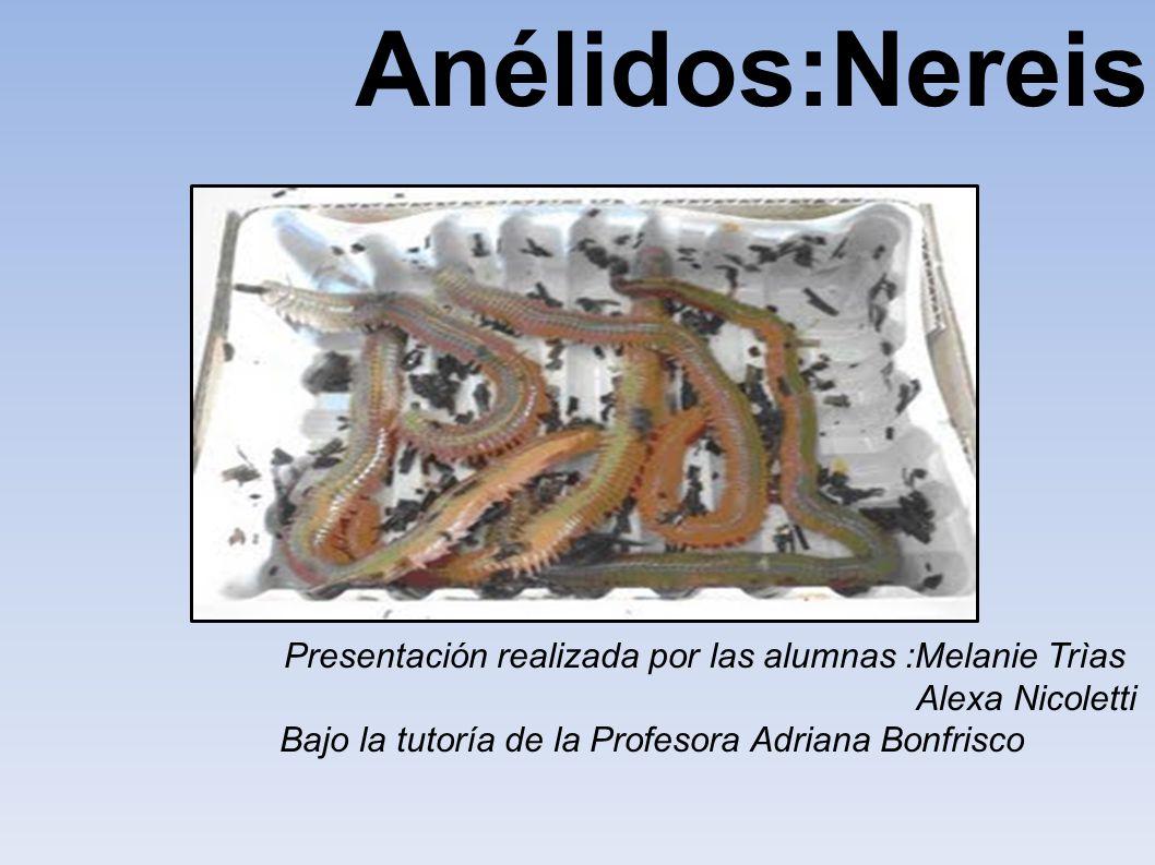 Anélidos:Nereis Presentación realizada por las alumnas :Melanie Trìas Alexa Nicoletti Bajo la tutoría de la Profesora Adriana Bonfrisco