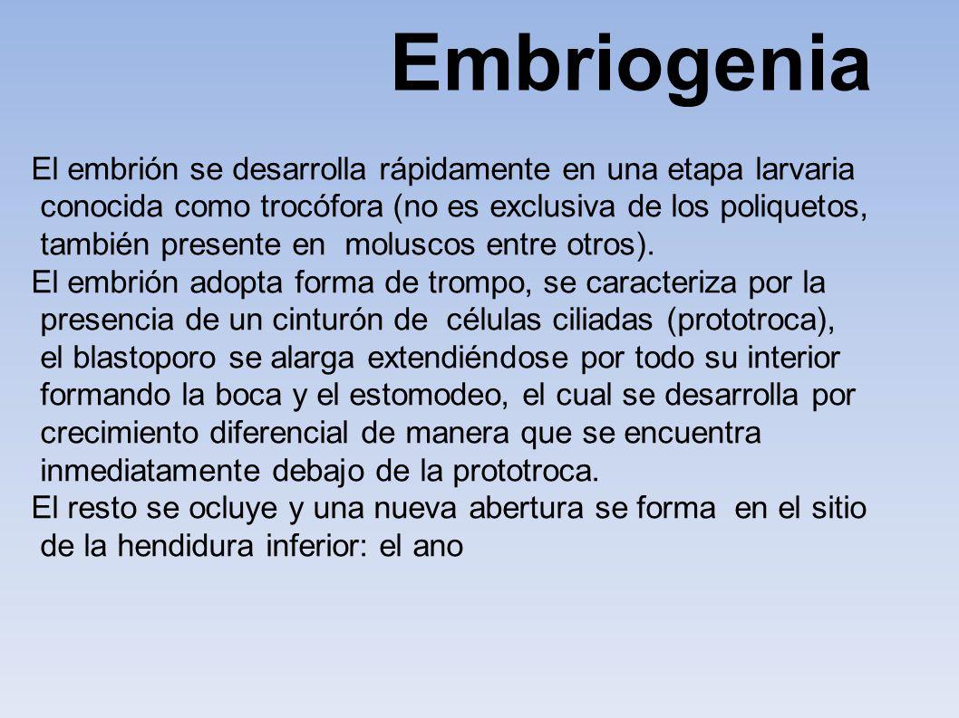 Embriogenia El embrión se desarrolla rápidamente en una etapa larvaria conocida como trocófora (no es exclusiva de los poliquetos, también presente en