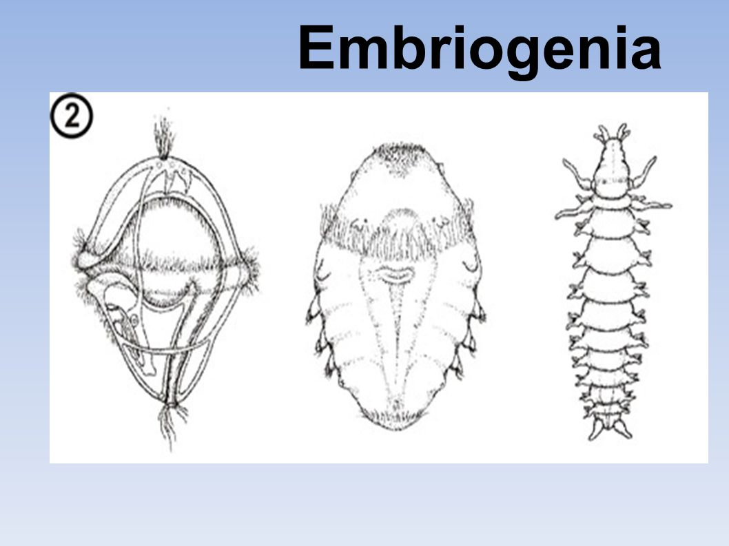 Embriogenia