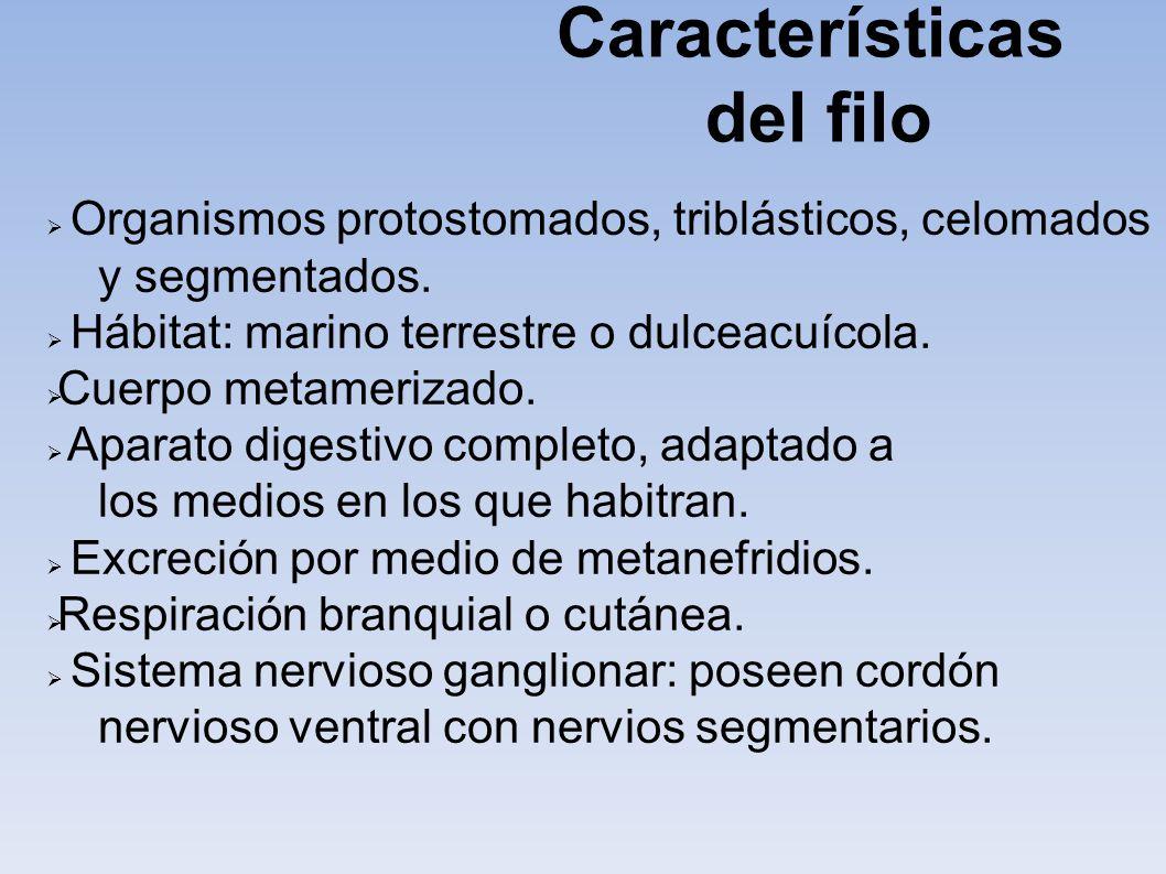 Características del filo Organismos protostomados, triblásticos, celomados y segmentados. Hábitat: marino terrestre o dulceacuícola. Cuerpo metameriza