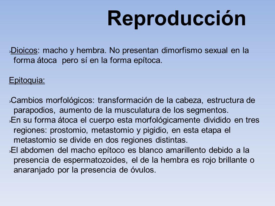 Dioicos: macho y hembra. No presentan dimorfismo sexual en la forma átoca pero sí en la forma epítoca. Epitoquia: Cambios morfológicos: transformación