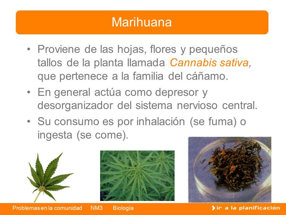 Problemas en la comunidad NM3 Biología Proviene de las hojas, flores y pequeños tallos de la planta llamada Cannabis sativa, que pertenece a la famili