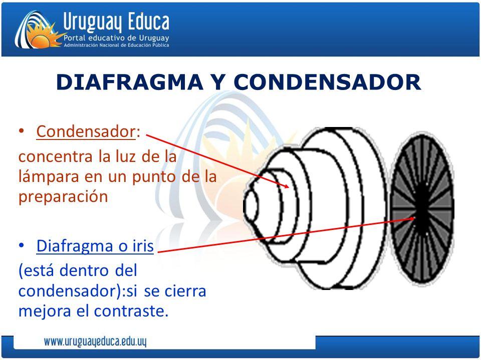 DIAFRAGMA Y CONDENSADOR Condensador: concentra la luz de la lámpara en un punto de la preparación Diafragma o iris (está dentro del condensador):si se cierra mejora el contraste.
