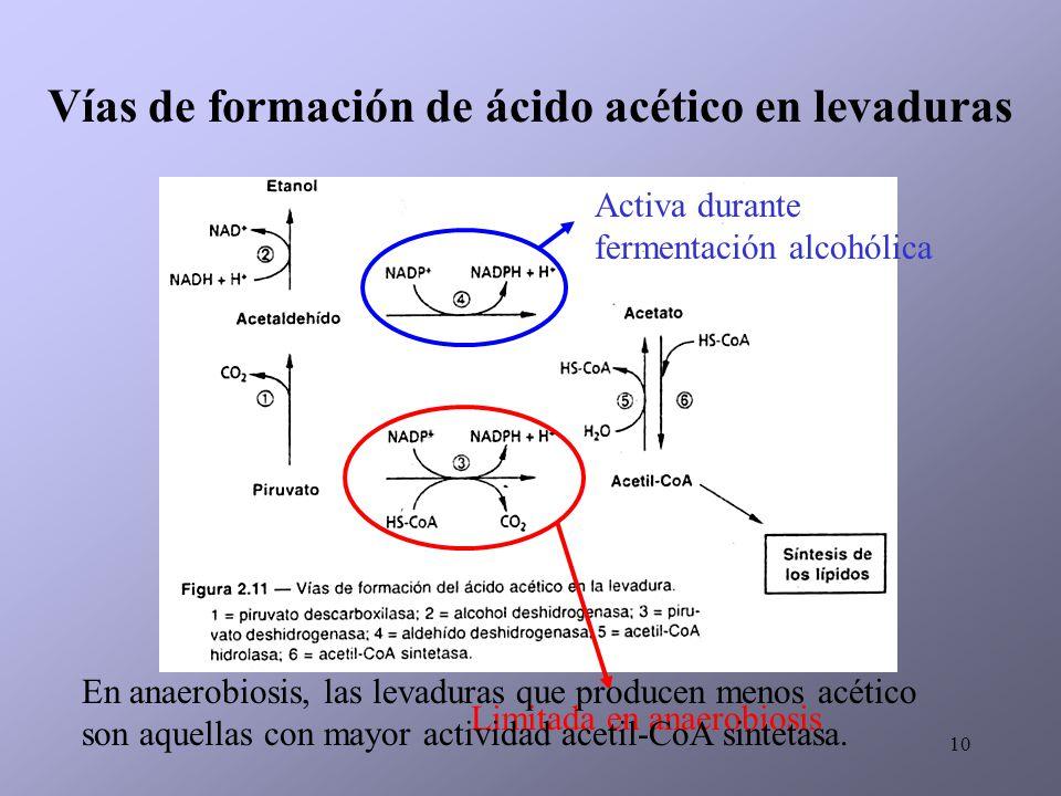 10 Vías de formación de ácido acético en levaduras Limitada en anaerobiosis Activa durante fermentación alcohólica En anaerobiosis, las levaduras que