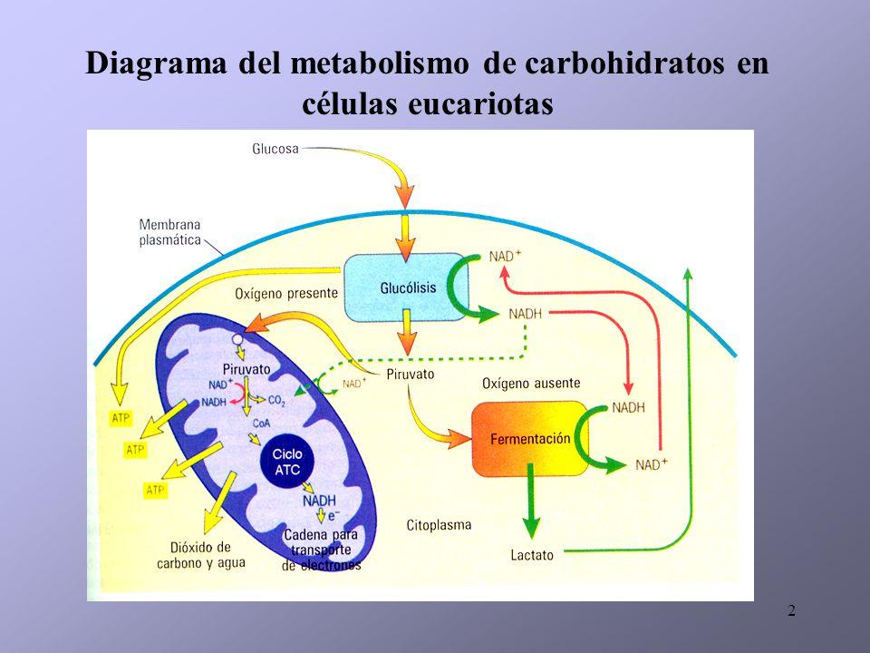 2 Diagrama del metabolismo de carbohidratos en células eucariotas